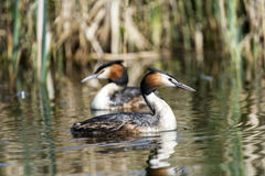 Great crested grebes Royalty Free Stock Photos