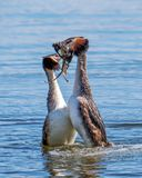 Great Crested Grebes - Podiceps cristatus performing their courtship display. Great Crested Grebes treading water and offering each other weed as they perform royalty free stock images