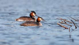 Great crested grebes swim in pair at water surface stock photography