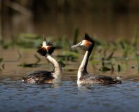 Great Crested Grebes In Mating Dance royalty free stock images