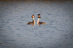Great Crested Grebes. Two Great Crested Grebes mating dance on the lake royalty free stock images