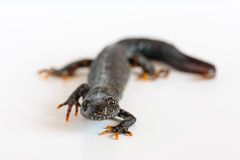 Great crested newt Royalty Free Stock Photography