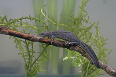 Great-crested newt, Triturus cristatus, Stock Photography