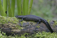 Great-crested newt, Triturus cristatus, stock photo