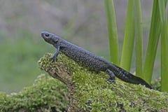 Great-crested newt, Triturus cristatus, Stock Image
