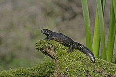 Great-crested newt, Triturus cristatus, Royalty Free Stock Photos