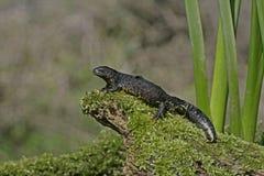 Great-crested newt, Triturus cristatus, Royalty Free Stock Photos
