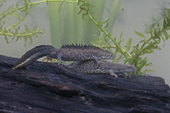 Great-crested newt, Triturus cristatus,. Two newts stock image
