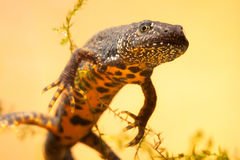Great crested newt or water dragon Stock Photography