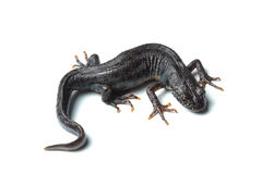 Great crested newt (Triturus cristatus) on white Royalty Free Stock Photo
