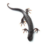 Great crested newt (Triturus cristatus) on white Royalty Free Stock Images