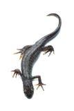 Great crested newt (Triturus cristatus) on white Royalty Free Stock Photo
