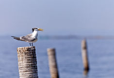 A Great Crested Tern Stock Photo