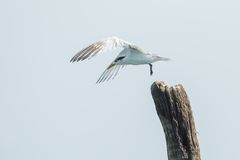 Free Great Crested Tern Stock Photography - 34748802