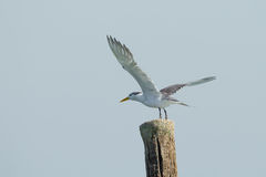 Free Great Crested Tern Stock Images - 34748804