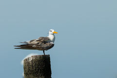 Great Crested Tern Stock Images