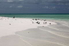 Great crested terns on Motu Tabu Islet. Stock Image