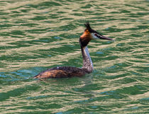 Great Crestet Grebe Stock Photography