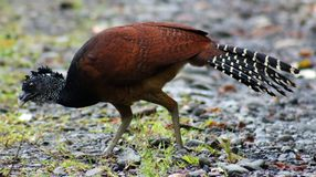 Great curassow female big bird like turkey in Costa Rica. Amazing jungle animal Royalty Free Stock Photos