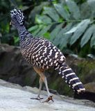 Great curassow female big bird like turkey in Costa Rica. Amazing jungle animal Royalty Free Stock Images