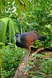 Great Curassow Royalty Free Stock Photo