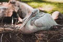 The great dalmatian pelican seating Stock Images