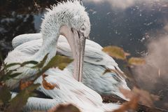 The great dalmatian pelican seating Royalty Free Stock Photo