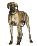 Great Dane, 10 months old, standing Royalty Free Stock Photos