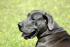 Great Dane Royalty Free Stock Photo