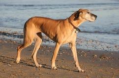 Great Dane. In profile pose on beach Stock Photo