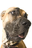 Great Dane Royalty Free Stock Photography