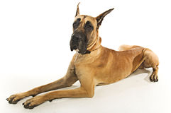 Great Dane. A Great Dane sitting down Royalty Free Stock Photos