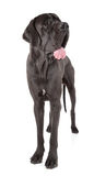 Great dane royaltyfria foton