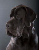 Great dane Fotografia Stock