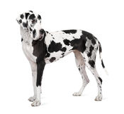 Great Dane (4 years old) Royalty Free Stock Photo