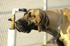 Great Dane. Water.. water.. water Stock Photography