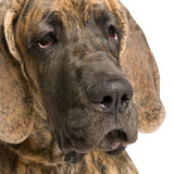 Great Dane (5 months) Stock Photo