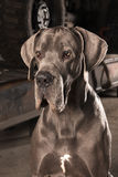 Great dane Royaltyfria Bilder
