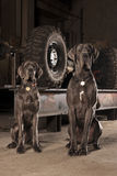 Great dane Royaltyfri Foto