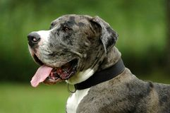 Great Dane. Portrait photo from a Great Dane Stock Image