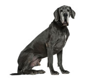 Great Dane, 6 years old, sitting Royalty Free Stock Photography