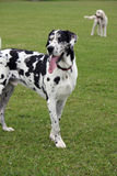 Great Dane. Handsome Great Dane enjoying a walk in the countryside Royalty Free Stock Image