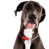 Great Dane Royalty Free Stock Images