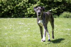 Free Great Dane Stock Images - 66882214