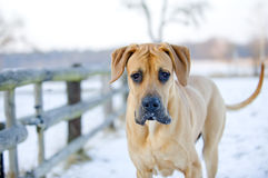 Great Dane, 9 month old male, brown colored Stock Photography