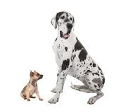 Great dane adult dog and chihuahua puppy Stock Photos