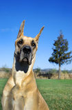 Great Dane against blue sky Royalty Free Stock Photo