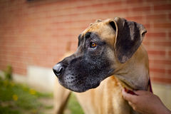 Great dane against a brick wall Royalty Free Stock Image
