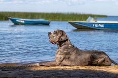 great dane on beach Royalty Free Stock Image