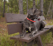 Great Dane on a bench Royalty Free Stock Image